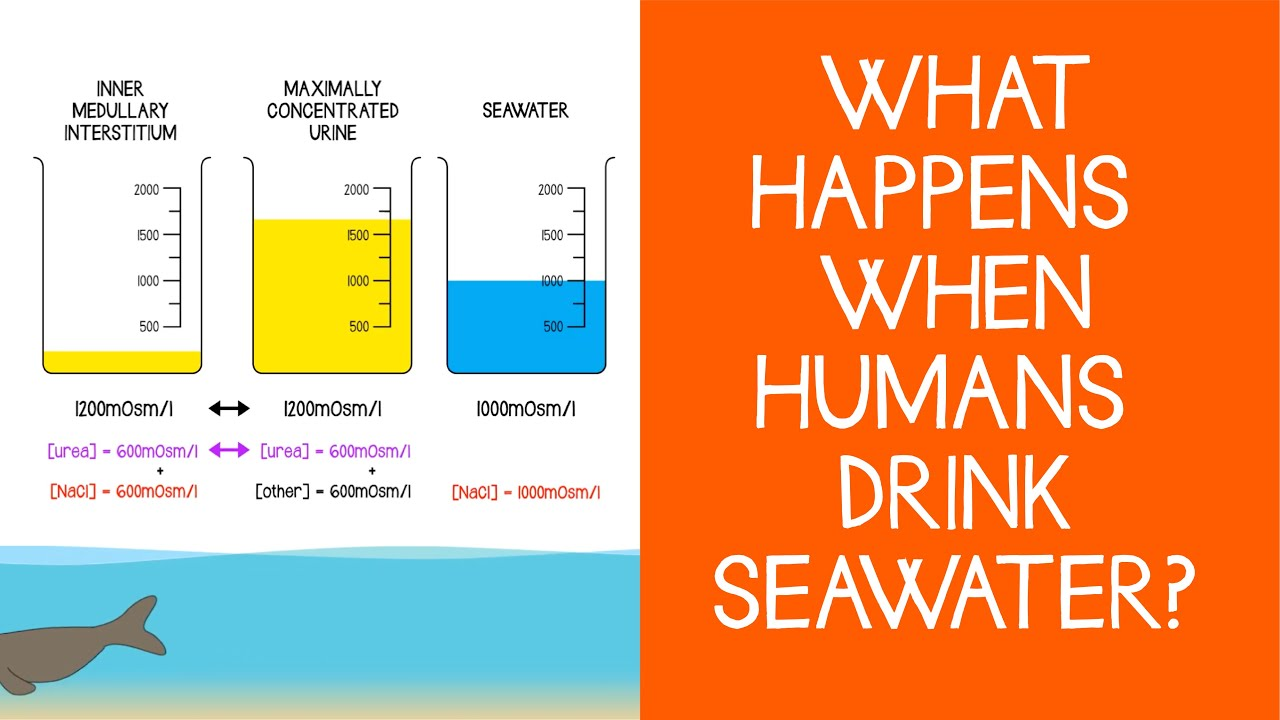 2 6 Renal Physiology: What happens when humans drink seawater?