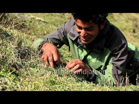 Cordyceps sinensis - the magical caterpillar-fungus that everyone seeks from the Himalaya!