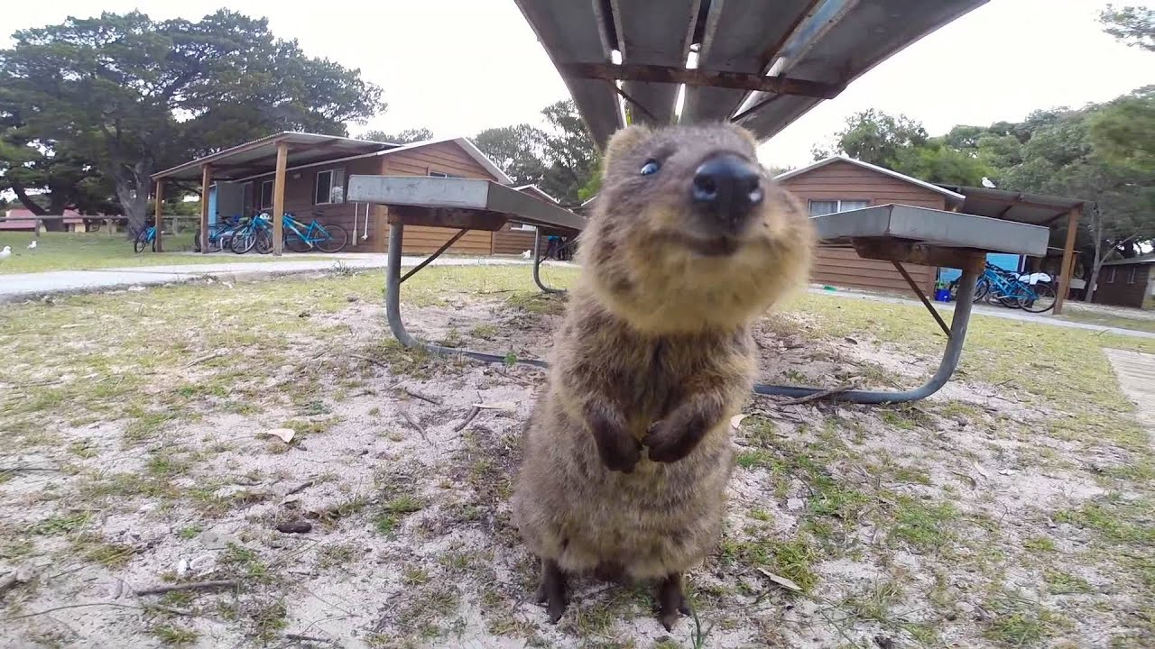 World Happiest Animal Quokka On Rottnest Island Perth
