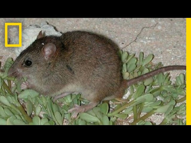 First Mammal Extinction by Climate Change | National Geographic