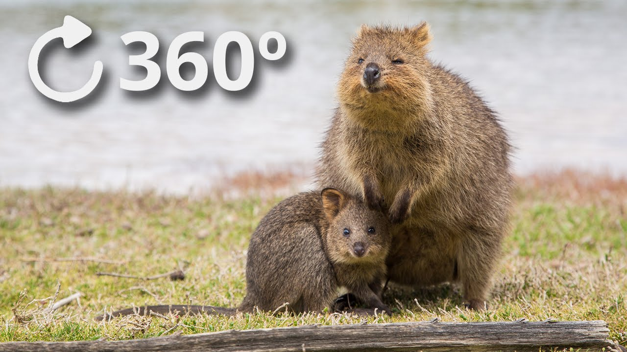 360º Quokkas - The Happiest Animal in the World - 4K - YouTube