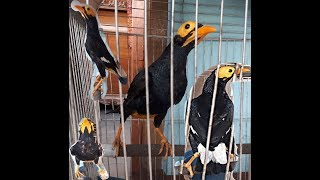 Jual Burung Beo Papua Gacor Pintar