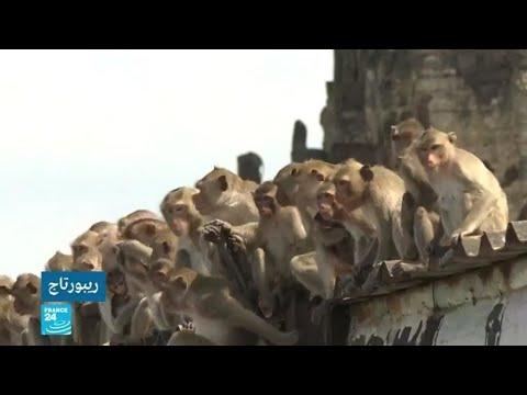 تايلاند... القردة تغزو الشوارع بحثا عن الطعام  - نشر قبل 5 ساعة