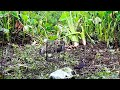 TERNYATA INI BEDA REAKSI JANTAN DAN BETINA SAAT DEKATI PIKAT II Awesome Bird Trap Part 2