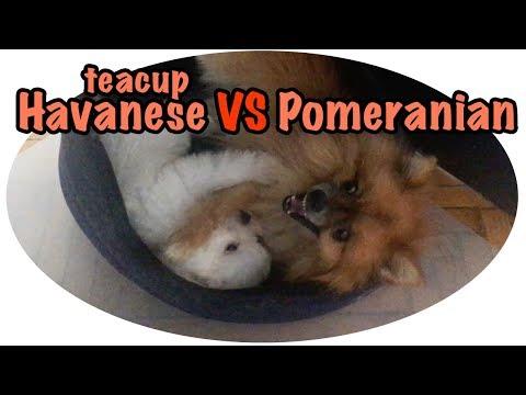 TEACUP HAVANESE vs POM • Teacup puppy (Part 2/3)