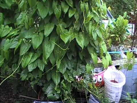 African Yellow Yam (Dioscorea cayenensis)