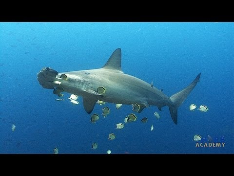 Scalloped Hammerhead Sharks | SHARK ACADEMY