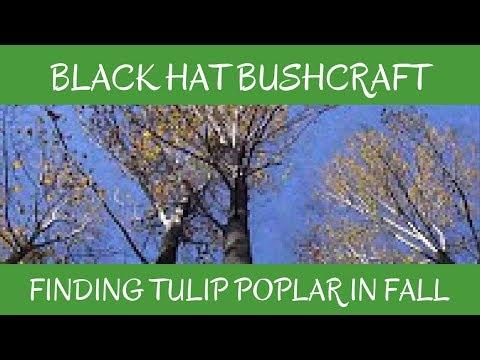 Identifying Tulip Poplar in Late Fall