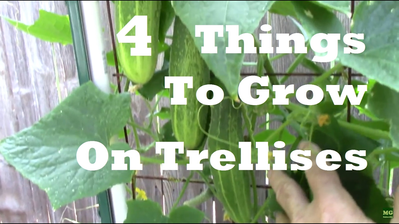 Trellis Gardening 4 Things You Can Grow On A Trellis