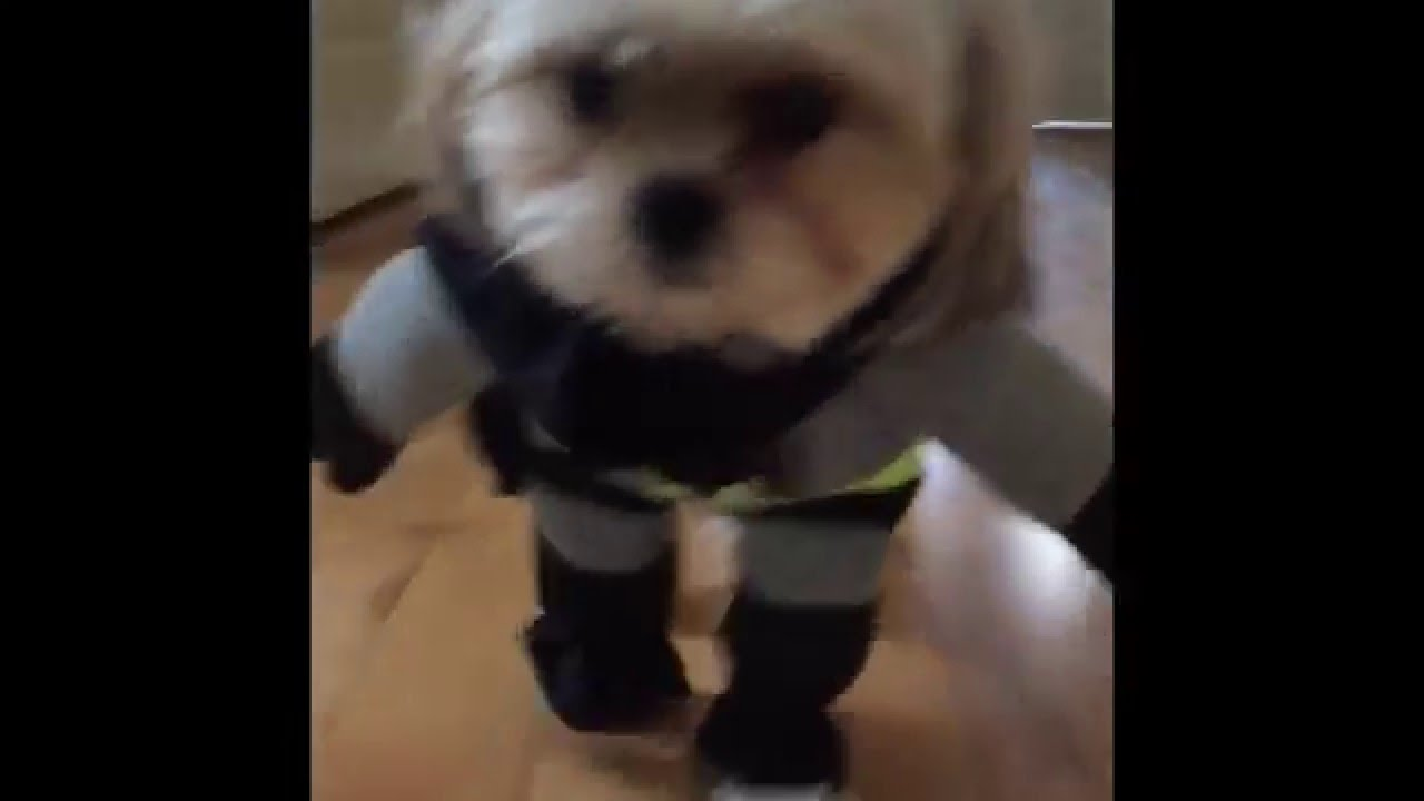 Batman vs Superman dogs - Cute dog costumes & Batman vs Superman dogs - Cute dog costumes - YouTube
