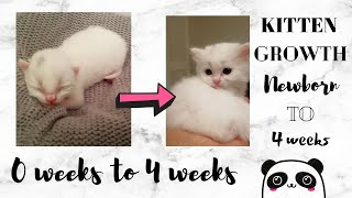 0 days to 30 Days Baby White Kitten Growth: Before and After: SO CUTE!