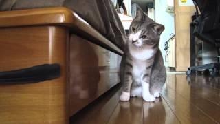 Кошка охотится на пёрышко / Cat hunts on a feather