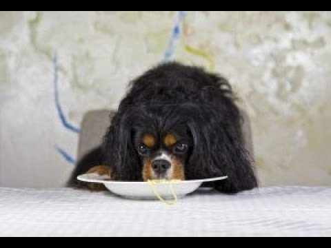 How To Feed My Cavalier King Charles Spaniel