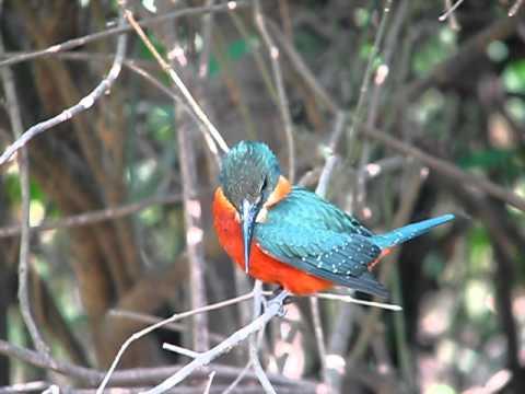 Green and rufous kingfisher