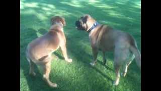 Bullmastiff Versus Dogue De Bordeaux