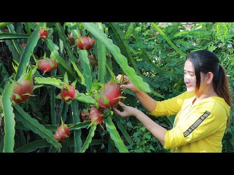 Yummy Dragon Fruit Dessert – Pick Dragon Fruit For Dessert – Cooking With Sros