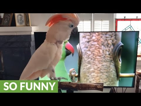 Barking cockatoo watches nature show on TV
