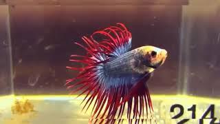 Melihat indahnya ikan cupang hias terbaik
