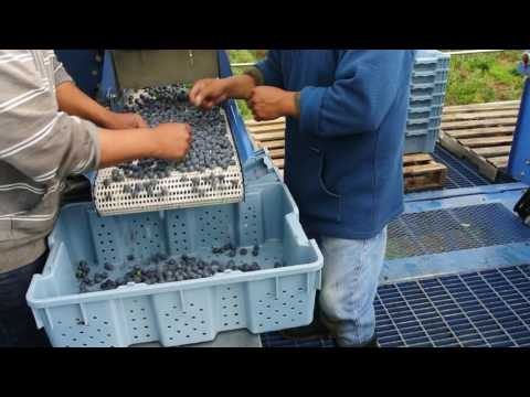 Sorting Blueberries into Lugs on the Picking Machine