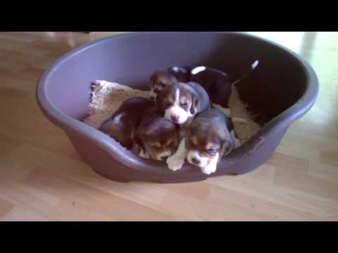 Beagle & shiba
