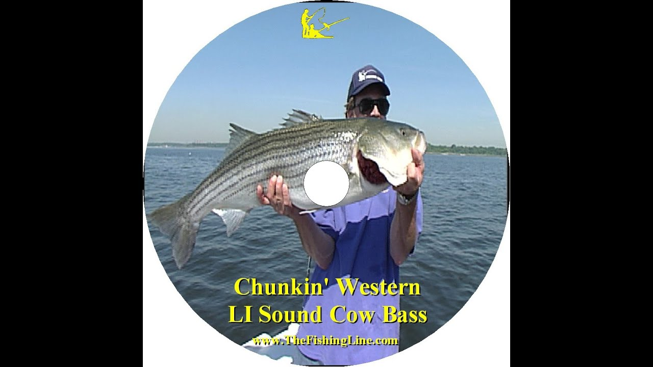 Long island sound cow striped bass youtube for Long island sound fishing report