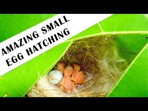 SMALLEST BIRD EGG HATCHING IN THE NEST| EGG HATCHING| SMALLEST BIRD IN THE WORLD|SMALL EGG HATCHING.