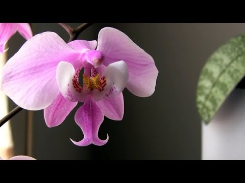 10 March 2018 • Phal. schilleriana • Orchid and tropical plant collection update