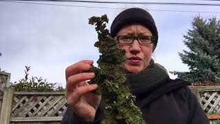 Learn how to tell the difference between your conifer dying or just...