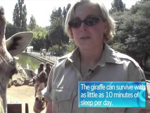 Cool Jobs Giraffe Keeper  Discovery News