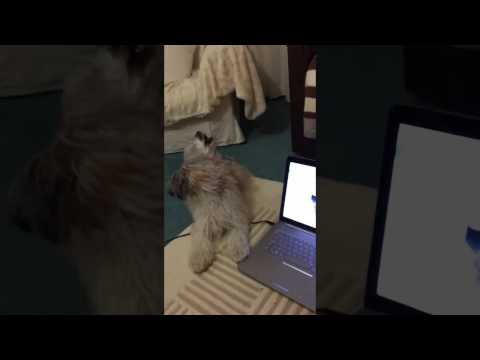 Chinese Crested Powder Puff sings  Duet with herself