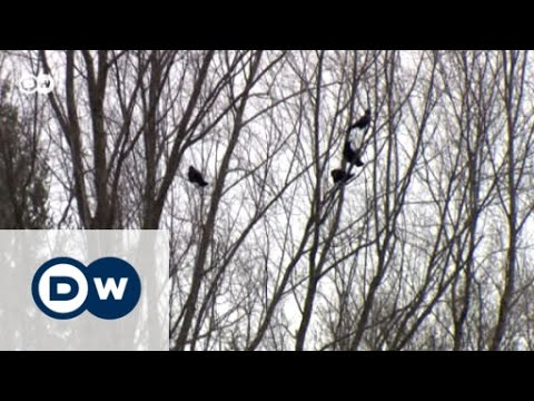 Shooting Crows In Switzerland | Eco-at-Africa