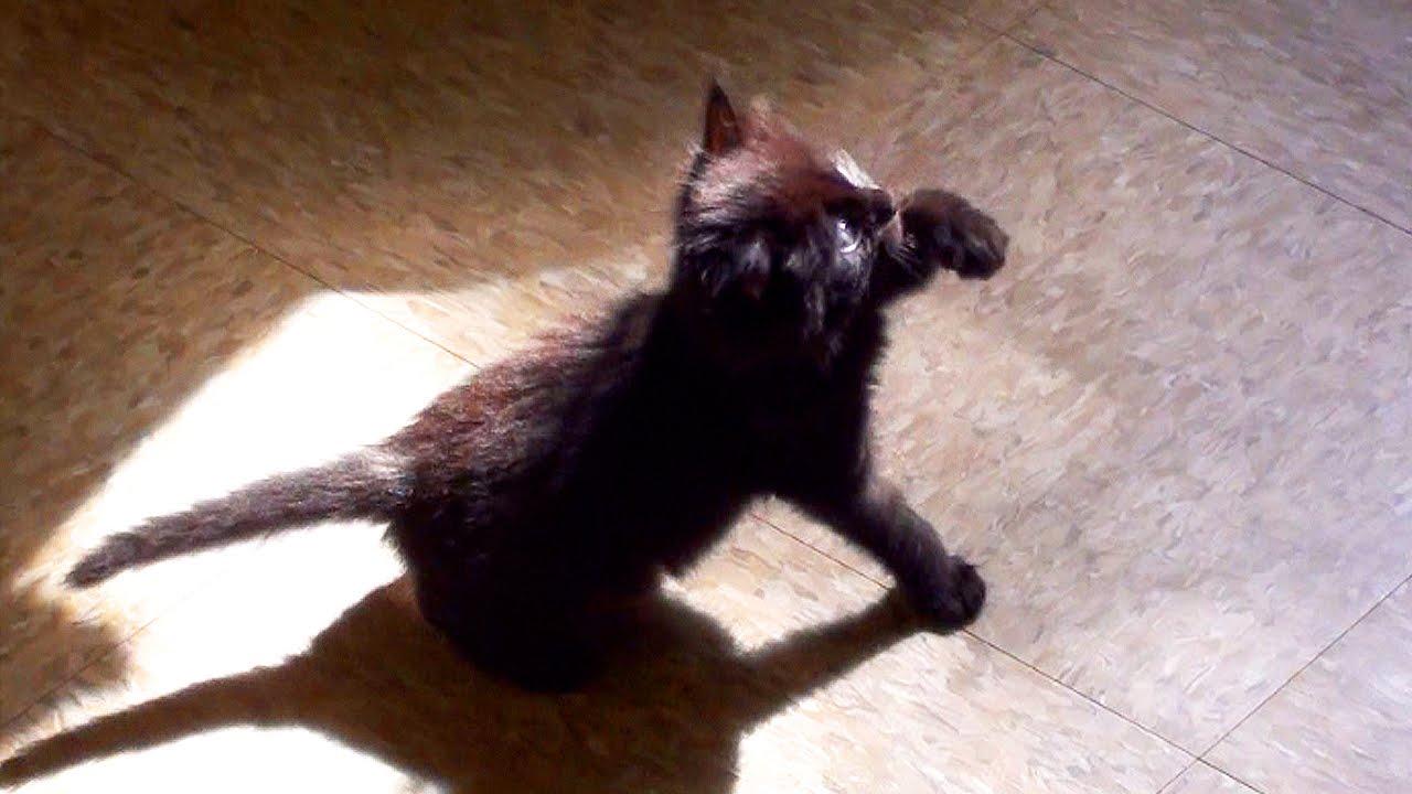 Cute Black Kitten Shadow Boxing