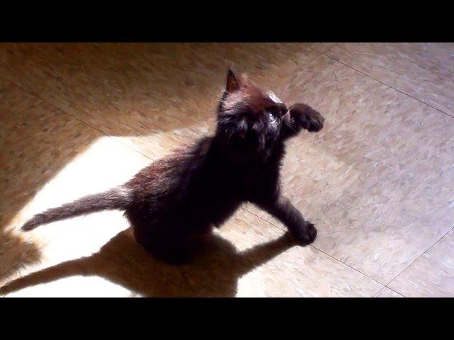 Cute Black Kitten Shadow Boxing!