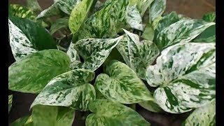 Repotting & Propagating Marble Queen Pothos