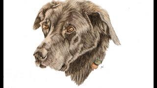 Timelapse Drawing - Black Labrador