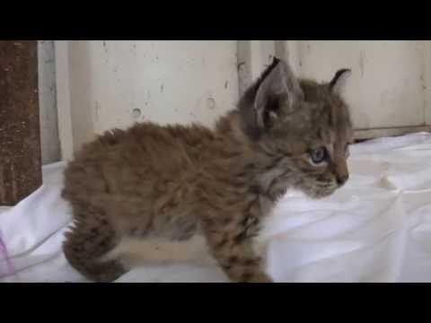 Chips the Baby Bobcat