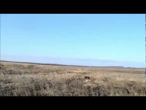 Веймарская легавая (веймаранер) & заяц  Краснодарский край, ст. Староминская (охота)