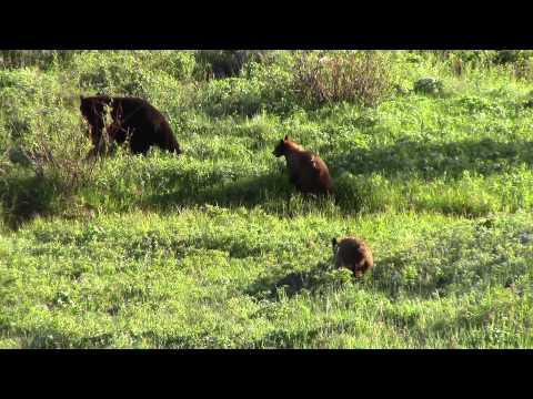 Black Bears - Near the Petrified Tree - Yellowstone National Park