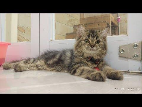 Cute Kitten VS Laser is funny - MOMO