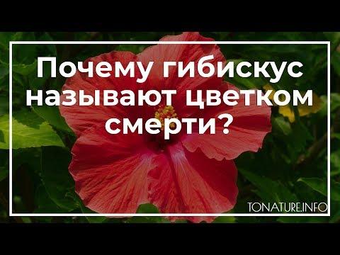 Почему гибискус называют цветком смерти? | toNature.Info