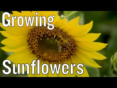 tips-for-growing-sunflowers