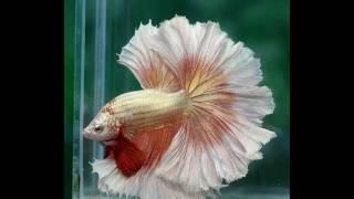 Рыба-невеста. Водное очарование!