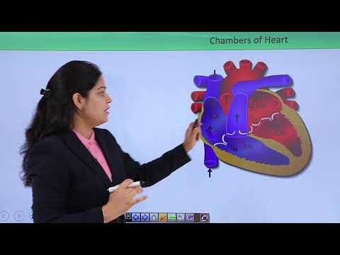 Circulatory System - Chambers Of Heart