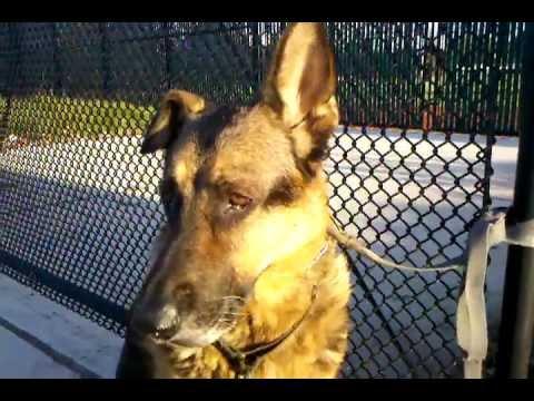 DOG EAR HEMATOMA AURAL GERMAN SHEPHERD. SWOLLEN INFLAMED ENLARGED, Take 2.