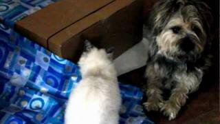 A Cairn Terrier Dog Got Attacted By A Naughty Cat
