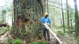 Cutting Down a Huge Fir Tree thumbnail