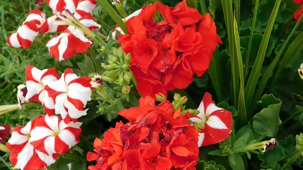 Red And White Flowers With Yellow Center Youtube