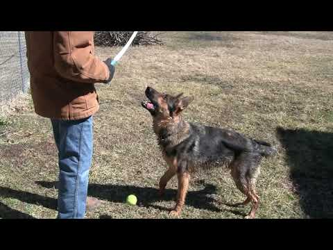 Chuckit and German Shepherd Home Defense by Missouri Wind and Solar