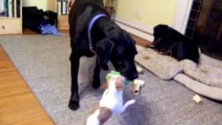 Roxie and Mencken play Tug