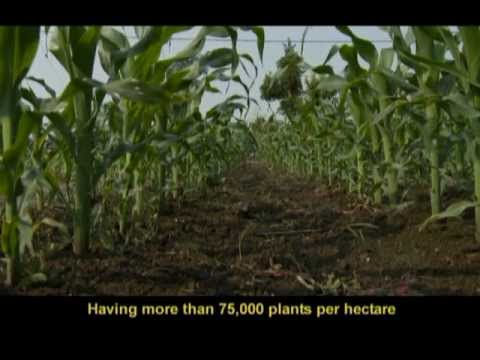 Maize BMP (2 of 10) - Plant population (Filipino with English subtitiles)